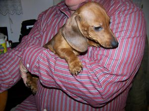 Darling Dachshunds in a Small Mini size, Smooth coats