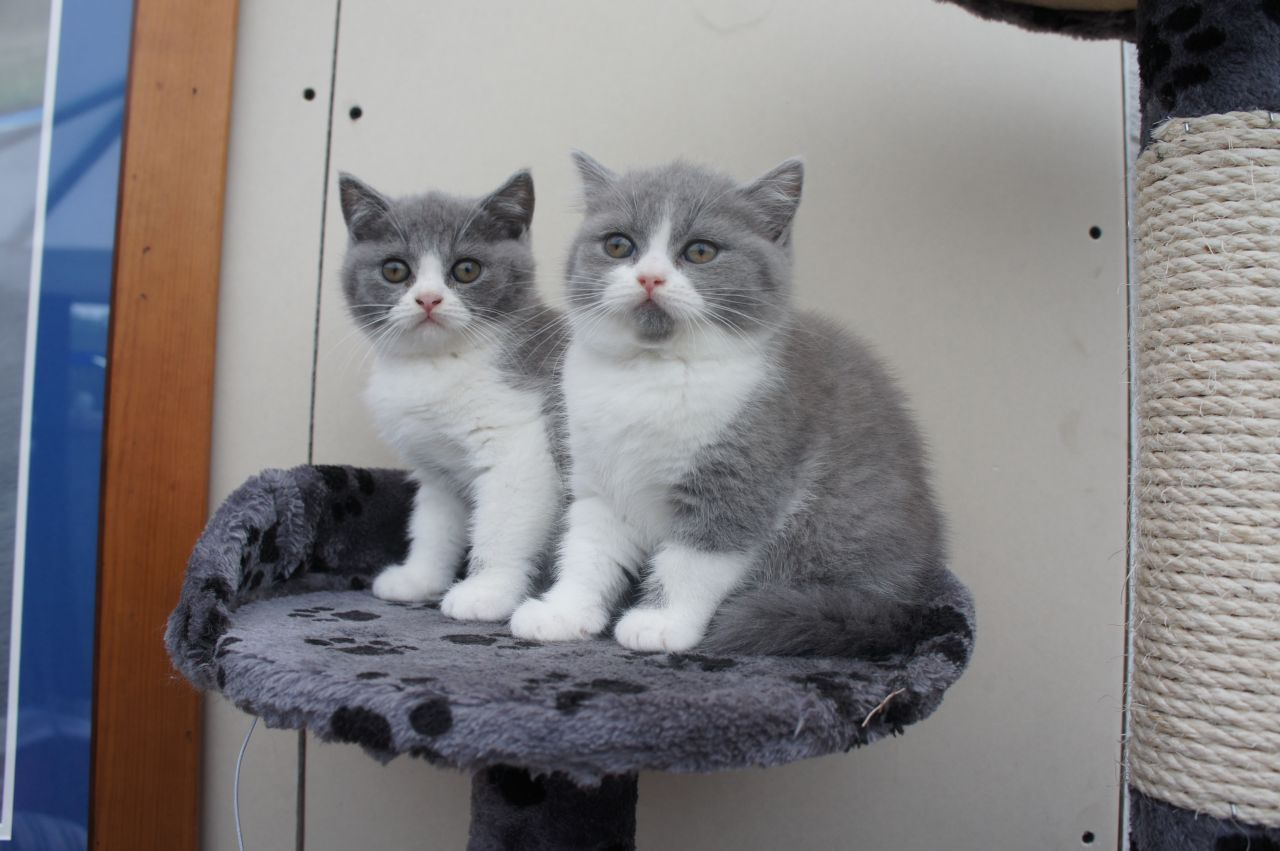 2 british shorthair kittens for free adoption