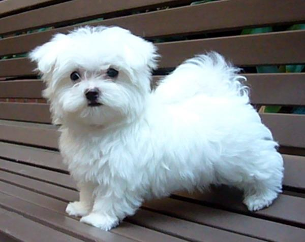 Adorable Maltese Puppy For Sale