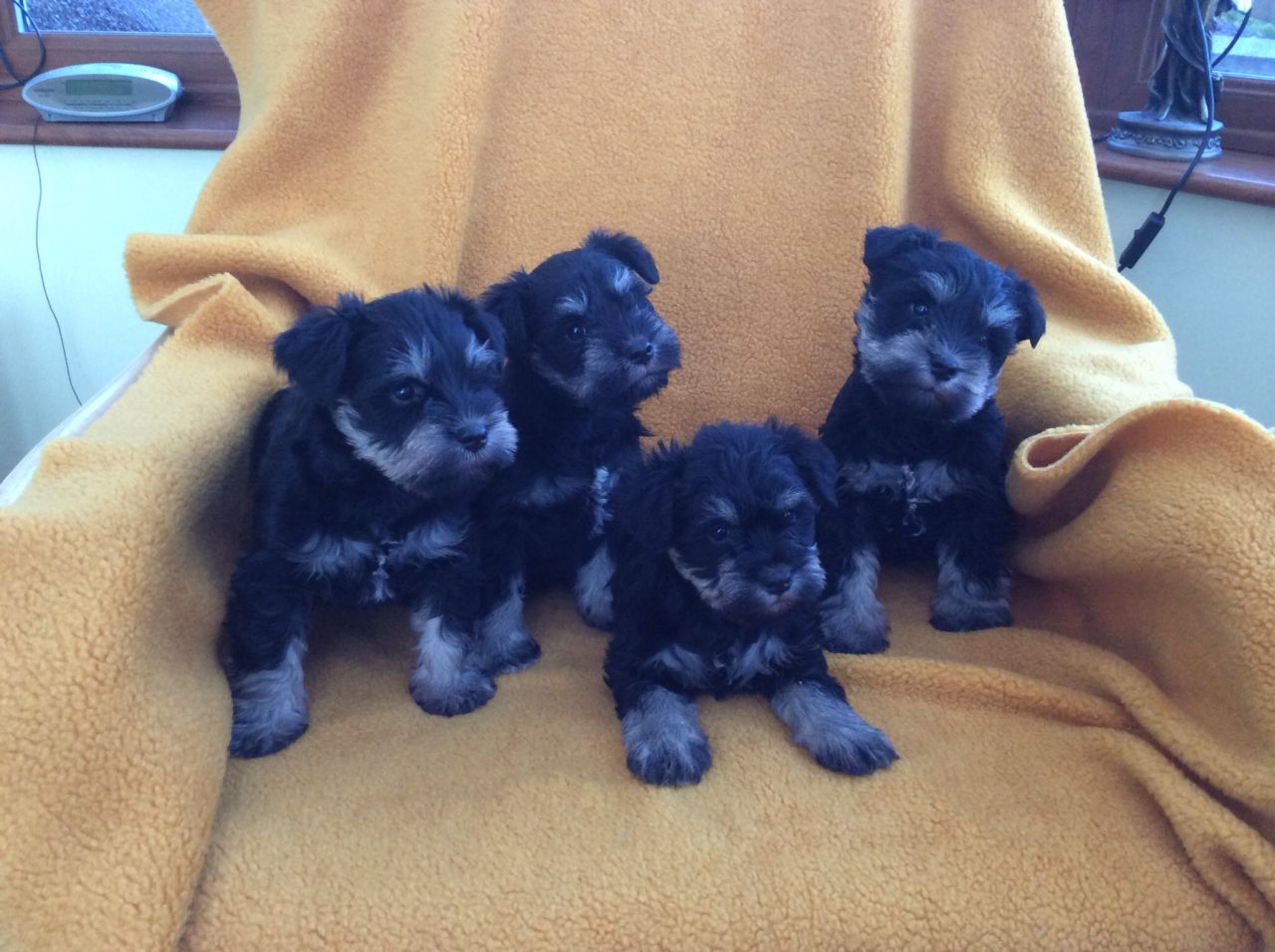 Good looking Male and Female schnauzer puppies for Adoption.