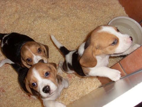 PUPPIES FOR BEAGLE