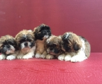 4 puppies shih tzu