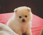 Beautiful Puppies Pomeranian Subscribers Kcc