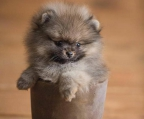 mini pup pomeranian for sale