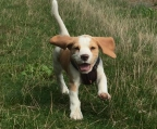puppies beagle Male And Female Kennel Club