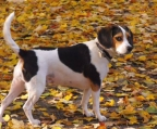 Beautiful beagle Male. Do not miss. This opportunity