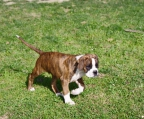 Boxer tiger-striped breeder for sale