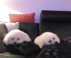Selling Bichon Frise Puppy For Three Months Pedigree