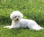Beautiful Chihuahua Bichon Frise registered Kcc !! Exclusive Race