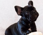 French bulldog black male