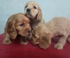 Cocker Spaniel Pedigree Inter Fci Fcm