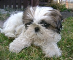 Shih Tzu Puppies Excellent Genetics
