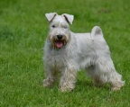 white schnauzer min. puppies for sale