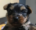 Yorkshire Terrier Yorky Puppies Miniatures