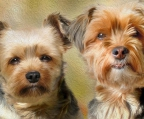 couple yorkshire terrier for sale