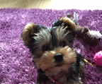 miniature yorkshire terrier, tiny