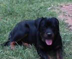 Rottweiler German Line The Most Beautiful