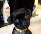 Puppies Pug 100% Pure Breed