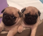 Pug Puppies Of High Quality