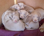 Beautiful, strong and soft Weimaraner puppies. Already weighed 3,9kg at 4 weeks