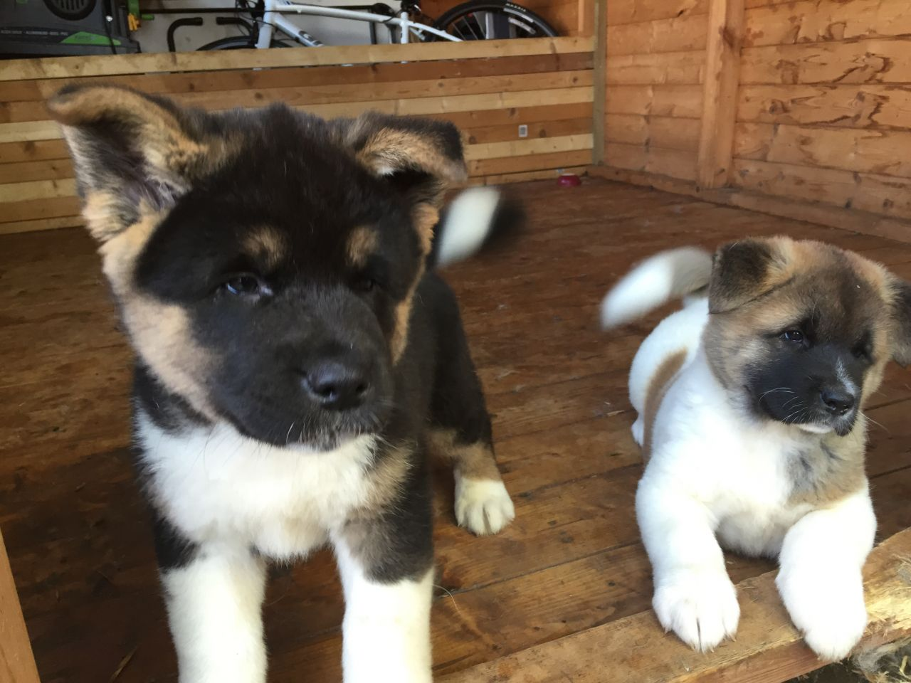 Mixed Breed Dogs For Sale