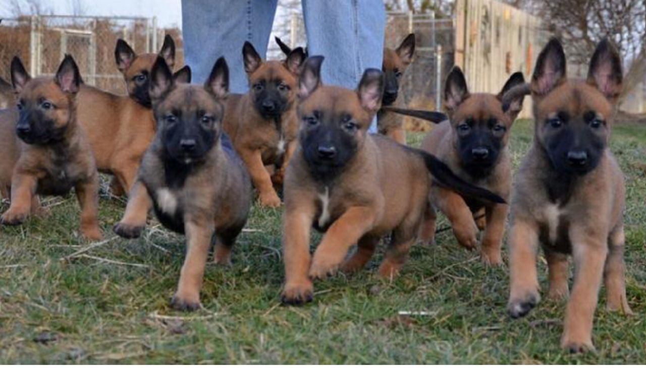 Superb New Litters of Belgian Malinois