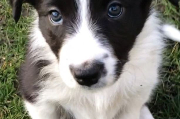 Border collie puppy