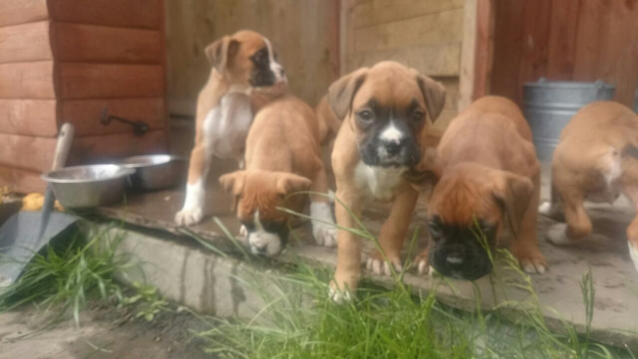 Gorgeous litter of quality Boxer Puppies for sale. KC
