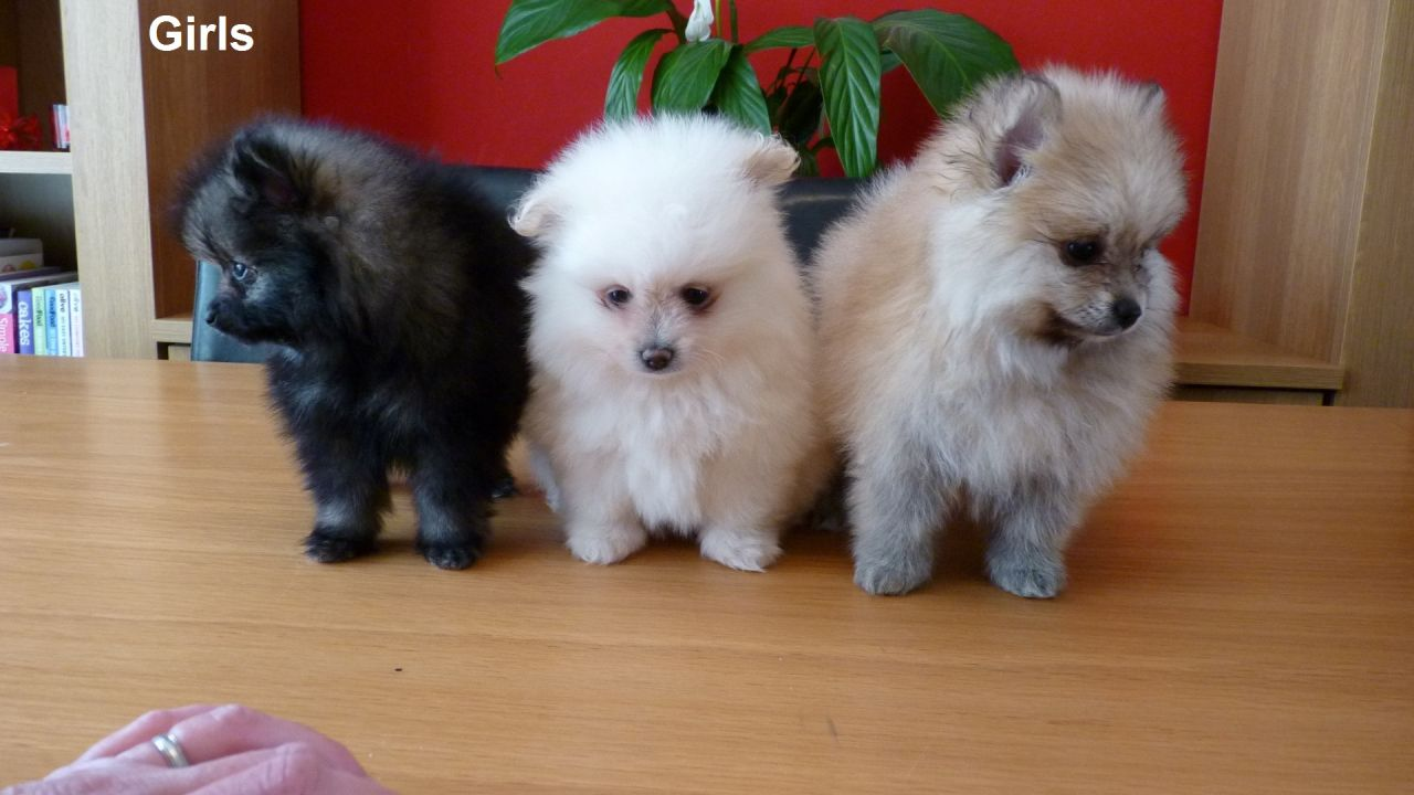 Pomeranian puppy wolf stable for sale