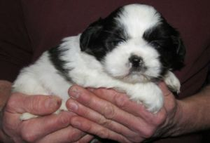 FEMALE Black & White Shih Tzu Puppie