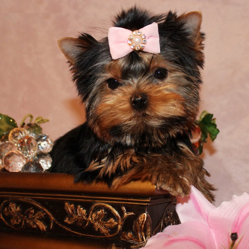 Adorable Yorkie Puppies.
