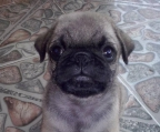 Litter pug for sale