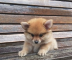 Pomeranian cream female available