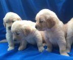 4 Golden Retriever males and females