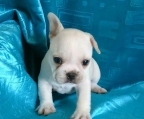 French Bulldog fawn female