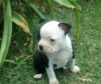 pup Boston Terrier for sale