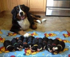 pups bernese for sale