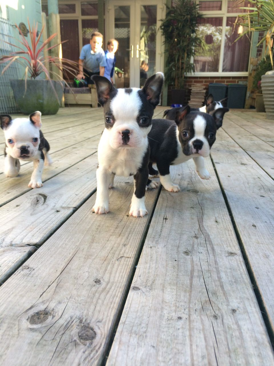 Stunning Boston Terrier Puppies for sale