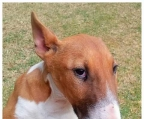 3 puppies for sale Bull Terrier