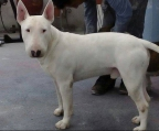 Miniature Bull Terrier Price