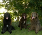 Dogs Newfoundland for sale