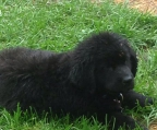 Price puppies Newfoundland