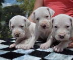 Dogo Argentino Breeders, kennel