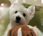 3 puppies west highland terrier sale