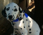 Puppies sale Dalmatian