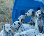 Dogs breed Dalmatian Price