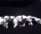 5 Puppies Dalmatian, males and females