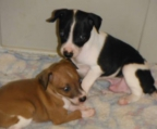 couple puppies sale Greyhound