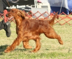 Irish setter breed Ireland