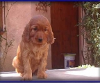 2 Puppies for sale Irish setter
